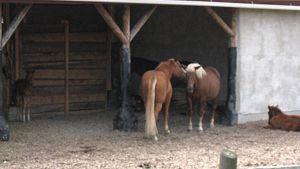 Hevosia aitauksessa