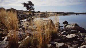 Merenrantaa: kiviä ja kaisloja. Loppukesän tai alkusyksyn tunnelmaa, hieman punertunutta rantaheinää aurinkoisena iltapäivänä.