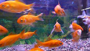 Kultakaloja akvaariossa