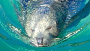 Särkänniemen altaassa uinut hylje