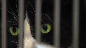 musta kissa häkissä