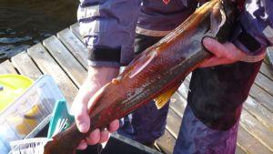 Lypsettäviä kaloja pyydystetään vielä tulevina viikkoina vapaaehtoisten kalastajien avulla Luonterilla ja Ruokovedellä.