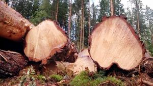 Kaadettuja puita metsässä.