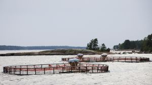 Kirjolohenkasvattamon allas Virolahden edustalla, Suomenlahdella.