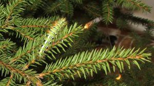 Kuusen karvajalka joulupuuta koristamassa.