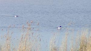 Lintuja ui vedessä