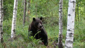Topi-karhu metsässä.
