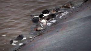 Kuolleita lintuja vesialtaassa Talvivaaran kaivosalueella.