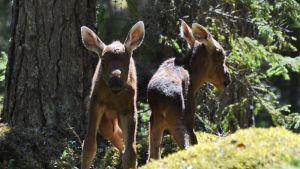 Hirven kaksosvasat metsässä
