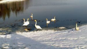 Trumpeter swans in Muonio