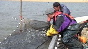 Kalastajat nostavat verkkoa vesiltä.