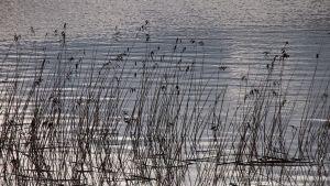 Kaisloja järvessä