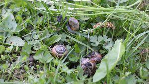 Lehtokotiloita nurmikolla.