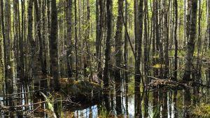 Tulvan alla olevaa metsää Rautalammilla