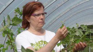 Helena Kauppinen tutkii vadelmapensaita