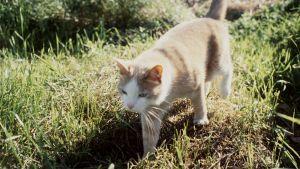 Kissa kävelee nurmikolla