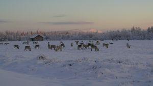 Porotokka Sodankylän Torvisessa, takana Luostotunturi