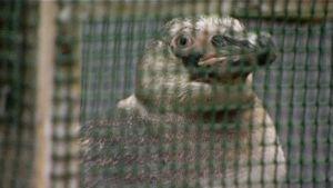 Uudelleen kiinniotettu pingviini häkissä.