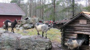 Kuvassa vuohia kotieläinpuistossa