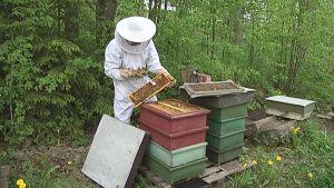 Mehiläishoitaja tarkistaa mehiläispesää.