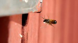Rusomuurarimehiläinen.