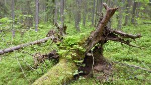 Sammaloitunut kuusen juurakko, jossa kasvaa kääpiä ja muuta kasvillisuutta
