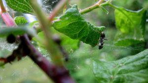 Muurahainen kiipeilee luumupuussa