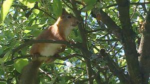 orava omenapuussa