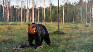 Karhu metsäaukiolla.