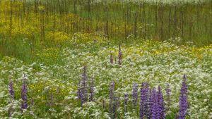 Kukkiva niitty