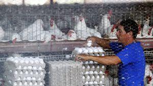 Työntekijä kerää munia meksikolaisessa kanalassa.