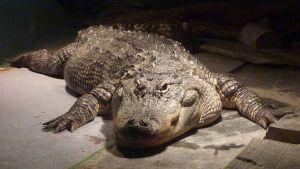 Mississipin alligaattori Zoolandiassa