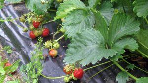 Kypsyviä mansikoita pellolla.