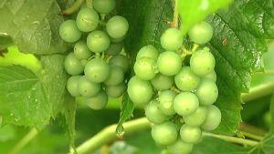 Keskenkasvuisia viinirypäleitä