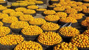 Tuhansia appelsiinejä koreissa.