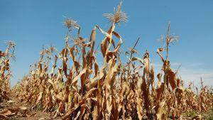 Pystyyn kuivunut maissipelto Oaktonissa, Indianan osavaltiossa, 19. heinäkuuta 2012.