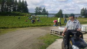 Ihmisiä poimimassa marjoja pellolta.