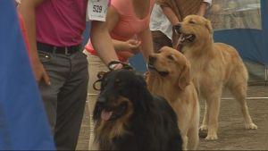 Koiria Sawo show -koiranäyttelyssä.