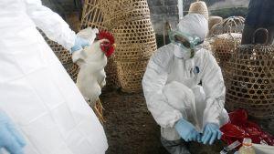 Viranomaiset antavat kuolettavia ruiskeita siipikarjalle Denpasarissa huhtikuussa 2012.