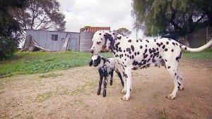 Koira nuolee lammasta Australiassa.