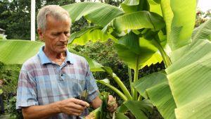 Reino Saarelma banaanipuunsa vieressä Turun Peltolassa