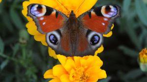 """Neitoperhonen """"tuijottaa"""" samettiruusun kukassa."""