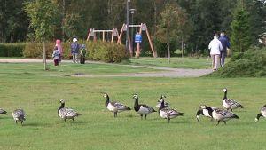 Hanhet ja kokkolalaiset joutuvat viettämään sulassa sovussa ainakin muutaman viikon, ennen kuin lintujen syysmuutto koittaa.