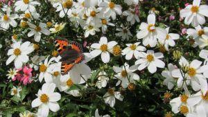 Kuvassa amppelirusokki ja perhonen