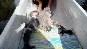 Koala kanootissa.