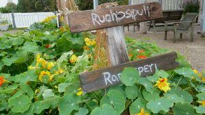 Simppulan puutarhan koristeveneeseen on istutettu kukkien lisäksi muun muassa raparperia ja ruohosipulia.