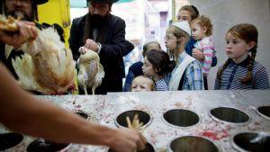 Lapset seuraavat kanojen kosher-teurastusta.