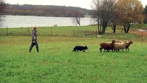 Silja Alamikkotervo ja Stella-koira ovat paimentamassa lampaita