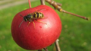 ampiainen omenassa
