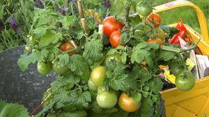 Tomaattipensas puutarhassa.
